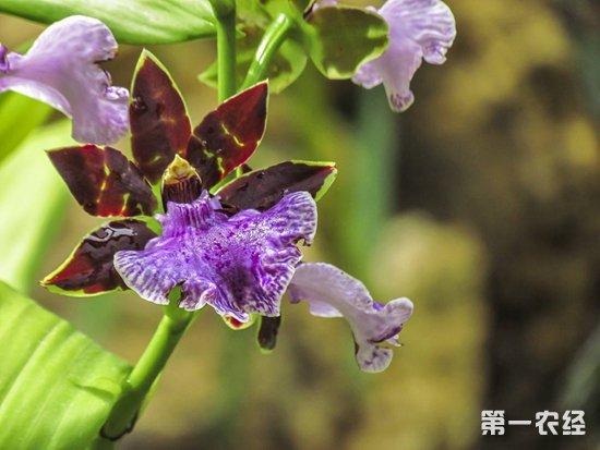 兰花没有花蕾怎么办?兰花的催蕾技术