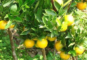 引起果树黄叶病的原因及防治措施