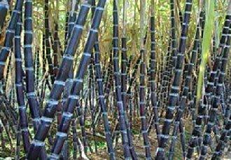甘蔗新品种脆蜜蔗1号在陕西五里镇张营村试种成功