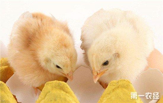 体质较弱的雏鸡如何养活?弱雏护理方法