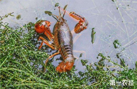小龙虾养殖环境塑造:水草的栽种方法
