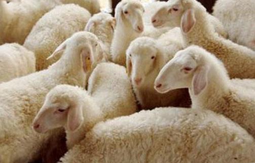 一头湖羊卖出三头价格,牧旅融合助增收