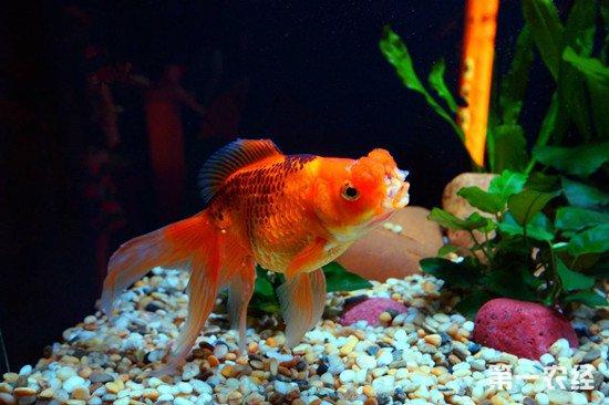 观赏金鱼的喂养技巧 喂养金鱼要注意这几点