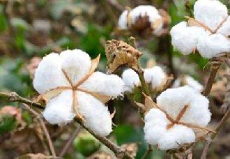 棉花一斤多少钱?