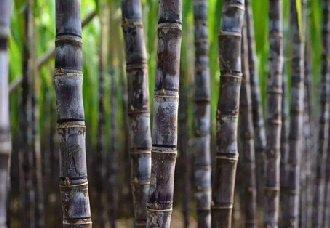 巴西种植了全球第一批转基因甘蔗