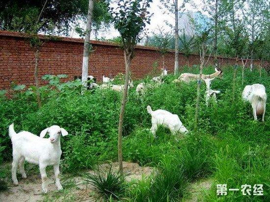 春天养羊时经常遇到的疾病症状和防治方法