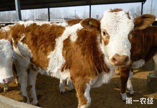 如何提高养殖肉牛的经济效益?这几个技巧了解一下