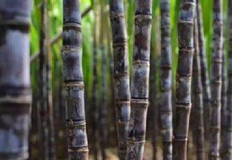 <b>全球第一批转基因甘蔗在巴西试种 种植面积约为400公顷</b>