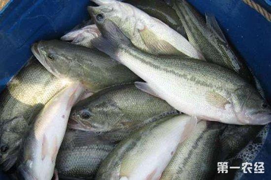元旦临近,加州鲈鱼销量走大价格有望回暖