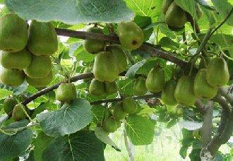 猕猴桃落叶早的原因以及预防措施