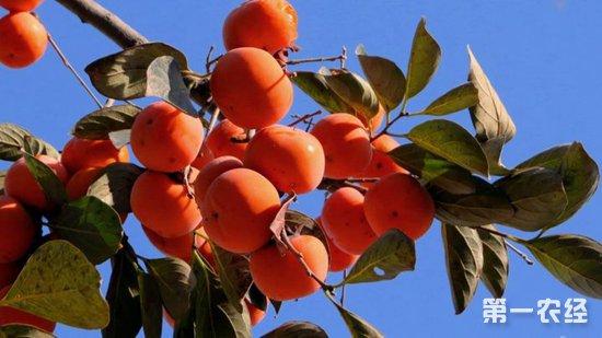 种柿子要注意什么?种植柿子的注意事项