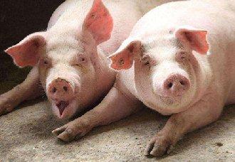 如何降低猪舍内的有害气体浓度?