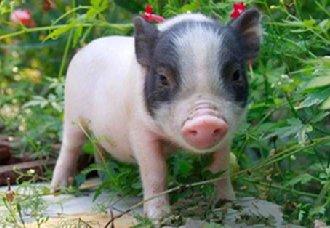 小香猪一只多少钱?