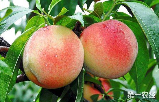 水蜜桃是一种深受人们喜爱的水果,市场前景一直以来都比较广阔。在种植水蜜桃的过程中如何提高产量也是广大种植户所关心的问题,那么水蜜桃要如何实现高产嗯?今天小编就带大家一起来了解一下水蜜桃高产的种植技术。     一、种植方式   水蜜桃种植通常在春季果树萌芽前和秋天桃树落叶以后。在栽种之前,大家可以将挖好的种植穴洞里铺上一些杂草,然后再施入一定量的磷肥、厩肥等,接下来就是土壤和肥料之间的混合。水蜜桃栽种之前,还要把那些断裂了的根系和比较密集的根系修剪一部分,边填泥土边提果树,可以让水蜜桃果树根系充分进入到土壤里面,太深太浅都不可以。   二、整形修剪   针对幼年的果树,我们以培养主枝干以及结果母枝为主要修剪目的。对于第一年刚生长的果树,我们要选第三个萌芽留作组织。然后把这三个萌芽培养成三大主枝,等到其逐渐生长以后,我们再对这延长枝进型短截,促其延长,扩大树冠。第二年,我们就要把这些主枝的角度进行合理的分配,要让这三个主枝保持不同的角度,之后在冬天的时候进行疏剪。把那些生长过旺的以及病枝进行截短。对于已经成年的果树而言,我们就要让其结果枝与生长枝进行合理的分配。   三、疏花疏果   1.疏花   水蜜桃不需要授粉就可以结果,但是不同的花朵授粉才能提高果实的品质以及产量。所以我们需要配置授粉的果树或者是采取人工帮助的方式来提高授粉概率,提高果实品质。   2.疏果   等到谢花以后,我们还需要进行疏果,这主要收为了保证果实质量,有足够的养分可以流到好的果实中。长的结果枝留2-3个果,短的枝留1个果实,梳果的时候,成年树先疏果,幼果树后疏果,先上疏果后下疏果。   四、套袋技术   为了提高果实品质,我们可以使用套袋技术,疏果以后应使用套袋技巧,套袋前先喷消毒液,采果一周前脱袋。套袋技术可以使病虫害减少,然后利于果实着色。     以上就是水蜜桃高产的种植技术,适当的修枝整形和合理的疏花疏果都是高产的基础,有条件的果农朋友可以采取果实套袋的方式,有利于提高果品。想了解更多种植技术,请关注第一农经网。