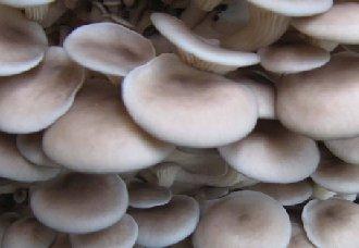 黄菇病的发病症状及防治方法