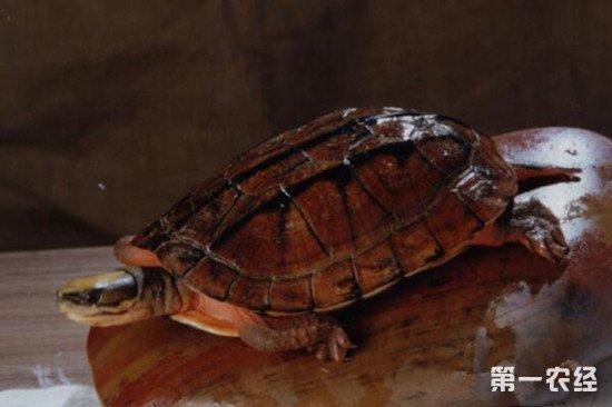 乌龟眼睛变白是怎么回事?乌龟白眼病的防治方法