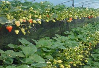 新疆莎车县在盐碱地上试种草莓 预计明年1月即可上市
