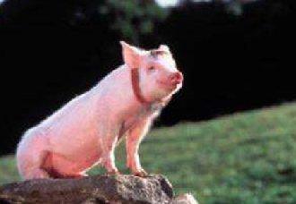 <b>猪价上涨,4省生猪价格突破了10元</b>