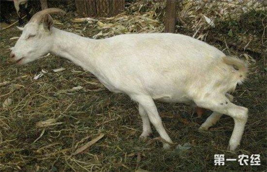 母羊产后瘫痪是什么病?如何进行治疗