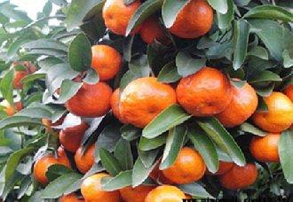 武汉江夏区:千亩砂糖橘带动农村经济发展