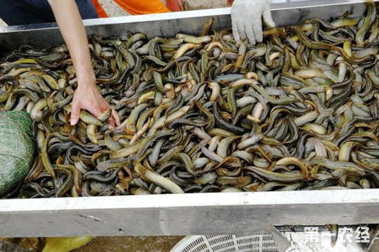 台湾泥鳅市场低迷 大泥鳅价格低至6元/斤