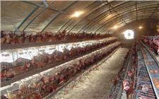 大棚养鸡常见灾害及其预防方法