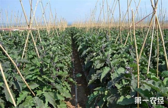 茄子怎么施肥才能高产?这几个阶段要注意