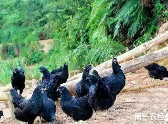 新疆尉犁:林下养殖黑土鸡走上增收致富路