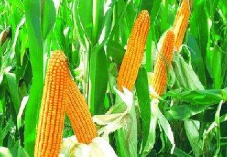 玉米籽粒直收将带动我国玉米生产迈上新台阶