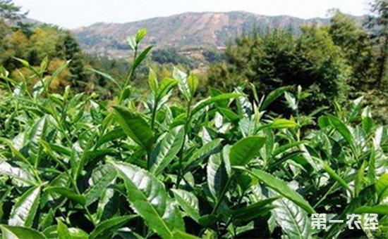 贵州黔东南州首次发布茶叶标准 极力优化茶产业结构图片