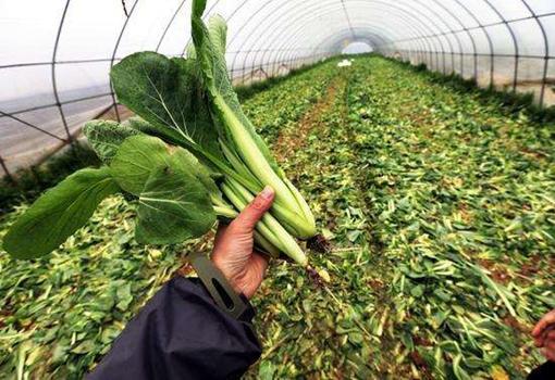 陕西西安田严村3万斤蔬菜滞销 获小区物业帮助