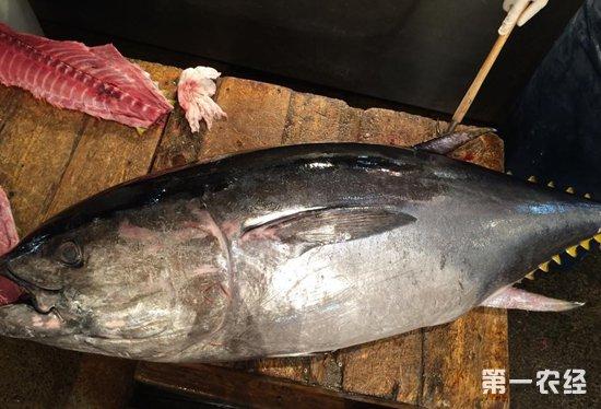 日本蓝鳍金枪鱼供给短缺致价格猛涨40%