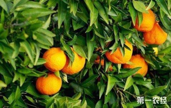 柑橘树冬季大量落叶的原因以及改善方法
