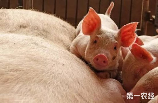母猪瘫痪的症状及预防方法