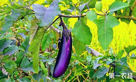茄子茎腐病的症状以及防治措施