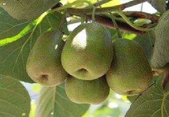 猕猴桃已成江西奉新主导产业 种植面积将超过7.5万亩