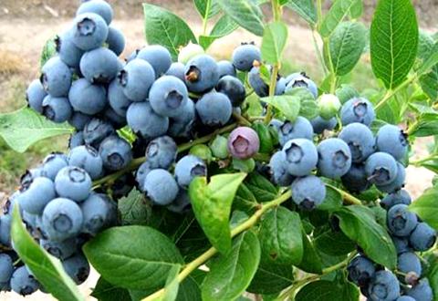 河南鲁山县符合蓝莓发展条件的农户实施种植资金奖补