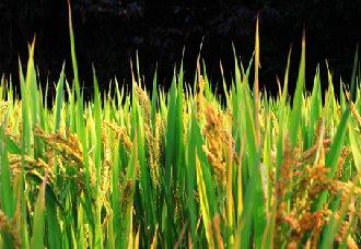 湖北多县市实行水稻保险政策 最高可获赔1100元