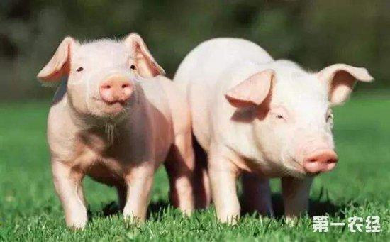 非洲猪瘟的重压下,四川内江仍有81.5%养猪户欲扩栏