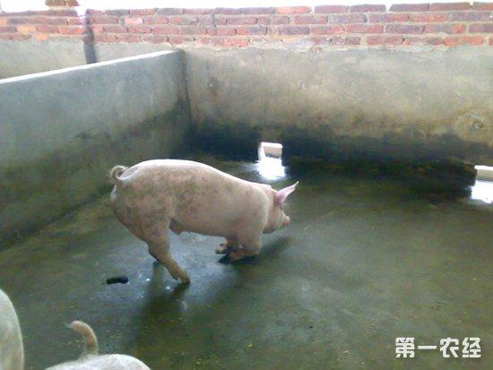 猪站不起来的三种情况以及其原因