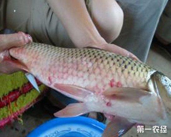 冬季鱼皮肤赤红的原因 鱼赤皮病的治疗方法
