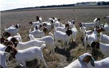 冬季养羊注意事项 一定要做好这些方面