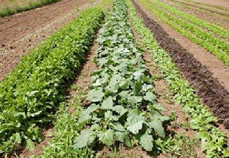 <b>美国研究出利用基因工程缩短农作物的光呼吸路径 提高农作物增产量</b>