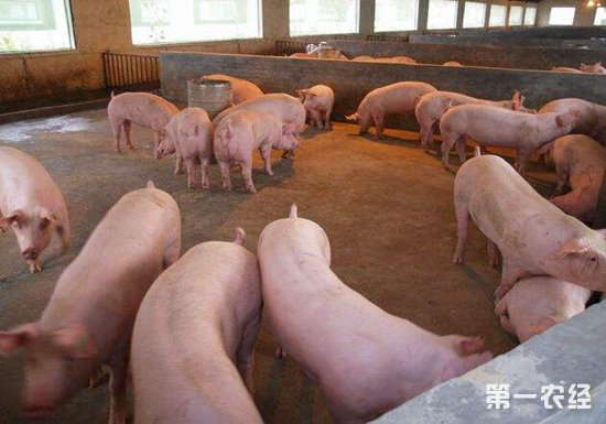 2019年什么时候买仔猪上栏比较合适?