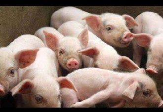 <b>北方猪价低迷,后期猪价会迎来转机吗?</b>