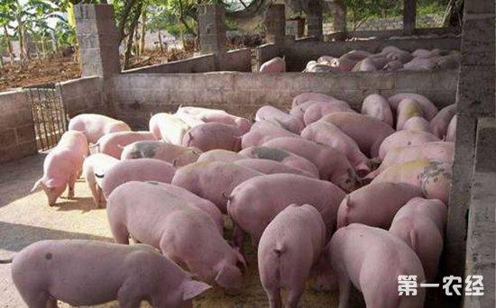 初产母猪咬仔猪的原因以及解决办法