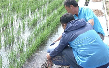 养殖泥鳅需要怎样的场地?稻田养泥鳅的场地建设