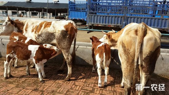 牛防疫注意事项:这些牛不可以打疫苗
