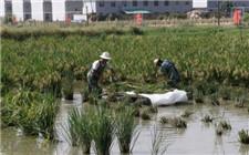 稻田养殖小龙虾注意事项 这些准备工作要做好