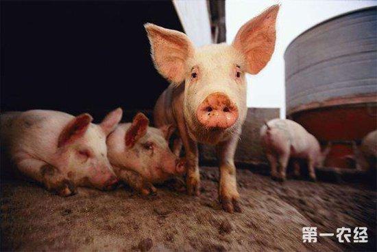 我国那起规模最大的非洲猪瘟疫情是怎么发生的?